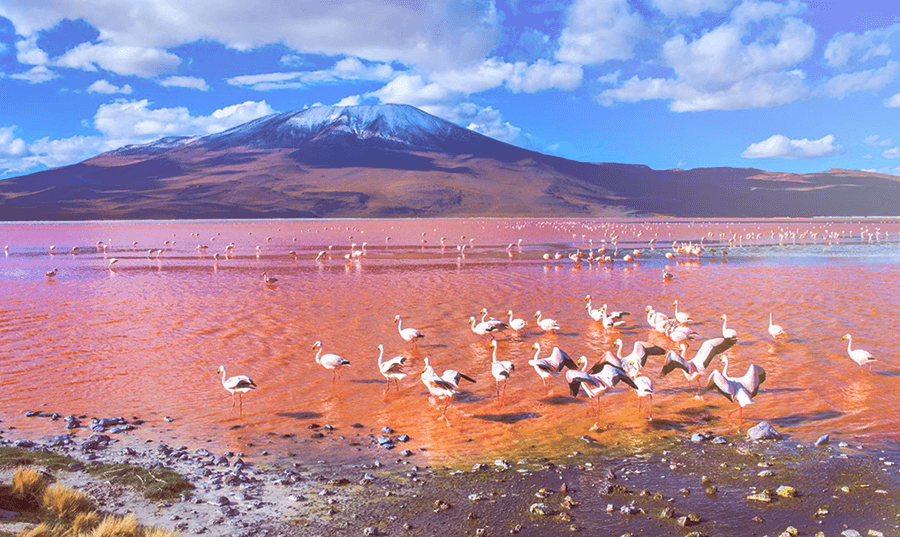 Flamencos en Laguna Colorada