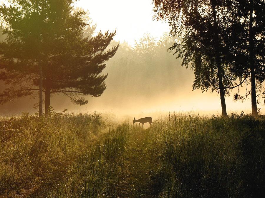 Corzo pastando en la Reserva de Hulskie