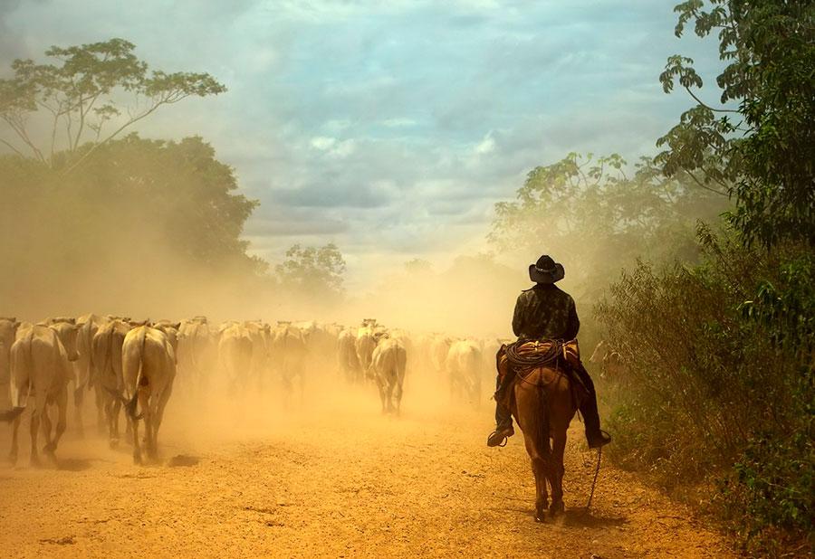 Lugareño guiando al ganado por la Transpantaneira