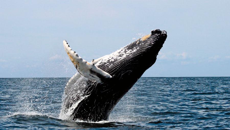 Las magníficas ballenas jorobadas
