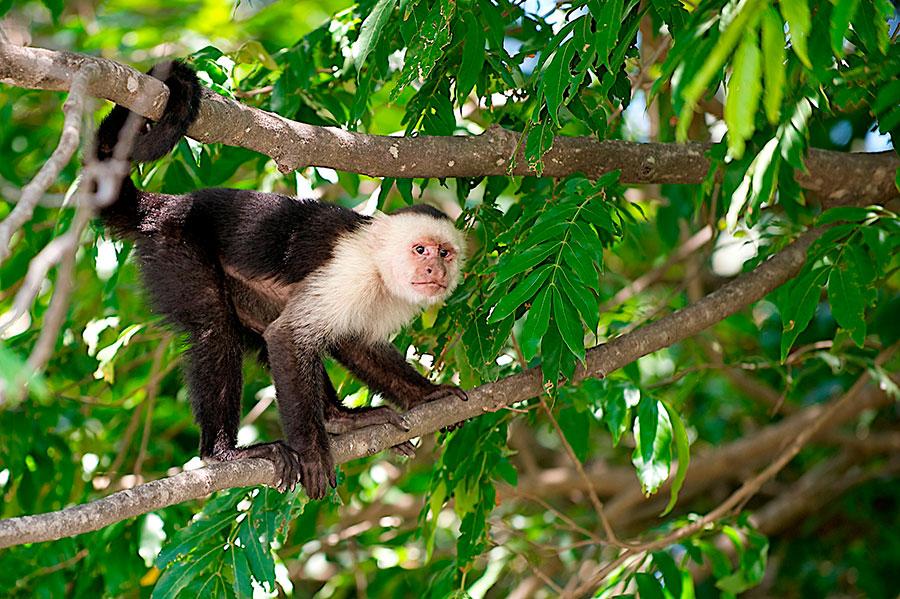 Mono capuchino, Fauna de Costa Rica