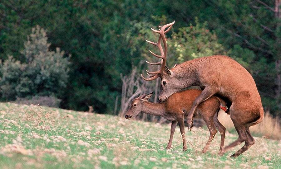La berrea del ciervo en espa a d nde y cu ndo verla gu a pr ctica - Imagenes de animales apareandose ...