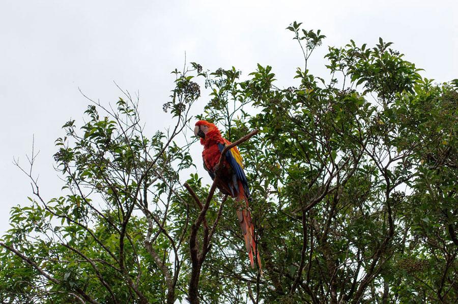 Un colorido guacamayo observa desde el árbol