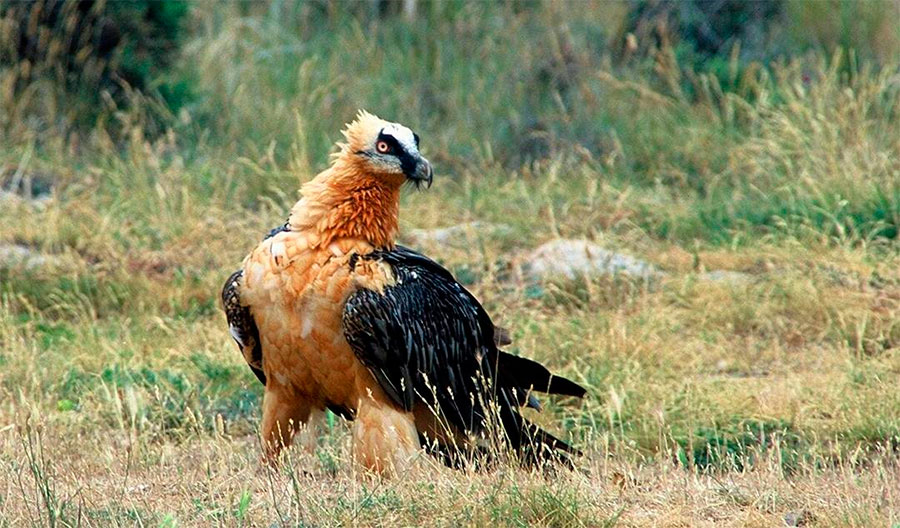 Quebrantahuesos en la Reserva Nacional de Boumort