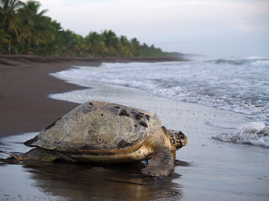Ejemplar de tortuga verde en el litoral de Tortuguero
