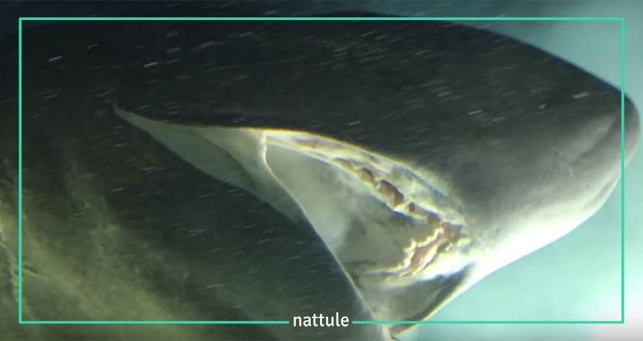 Descubierta una especie de tiburón más antigua que los dinosaurios en México